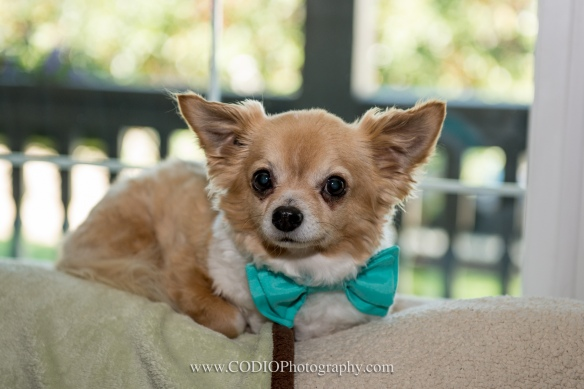 dog with bow tie wedding
